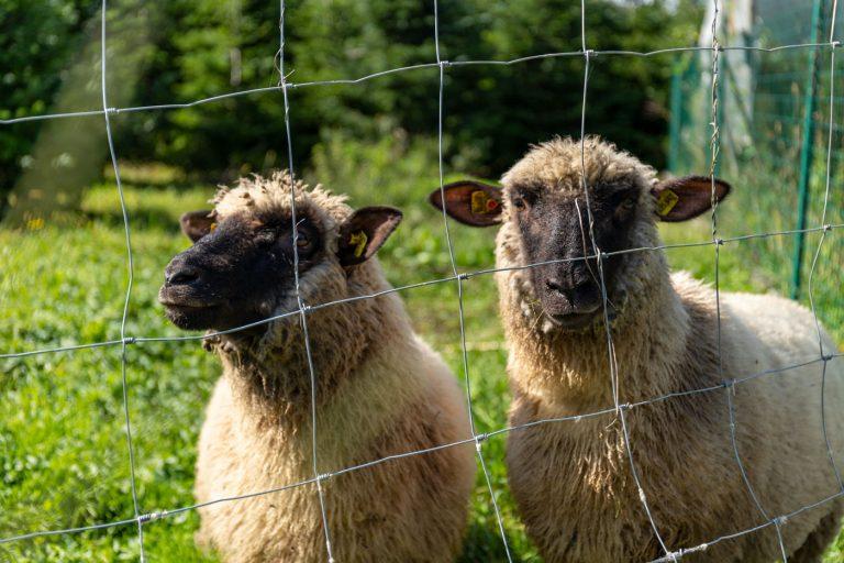 Schafe Ferienwohnungen Moitz